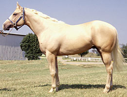 Palomino Quarter Horse Stallion—eXtensionHorses (Flickr.com)