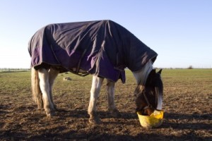 Horse covered and eating during cold morning